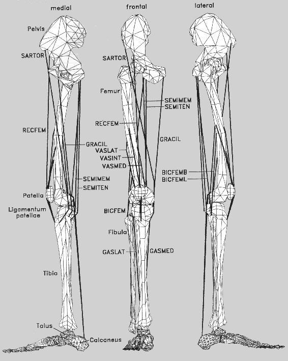 muscles of leg. the leg muscles (compiled